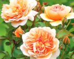 Роза Пегас