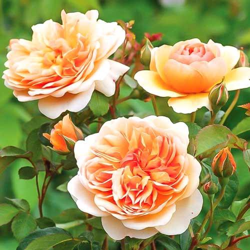 Роза Пегас изображение 1