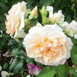 Роза Пегас изображение 2