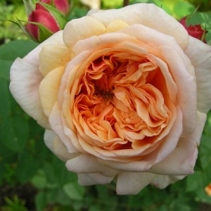 Роза Пегас изображение 3