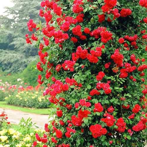 Роза Пол Скарлет 2