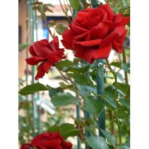Роза Пол Скарлет 3