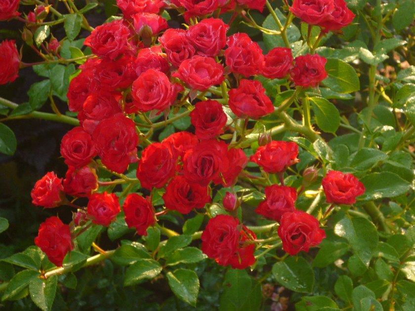 Роза Пол Скарлет 1