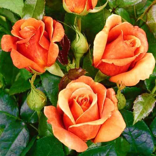Роза Черри Бренди 1
