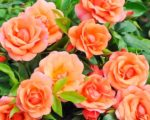 Роза Априкола