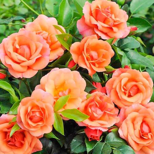 Роза Априкола 1