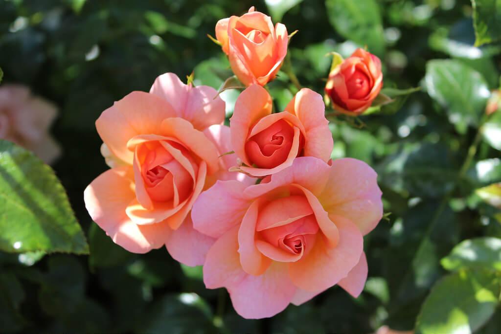 Роза Априкола 2