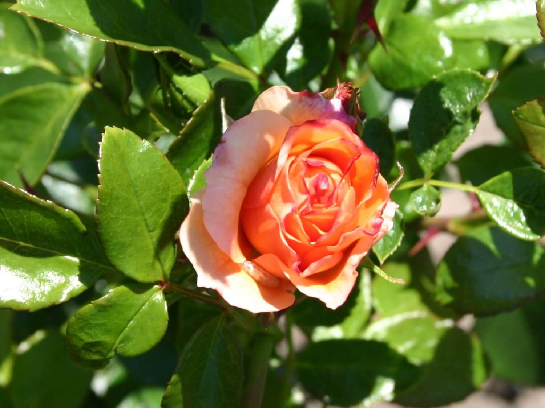 Роза Априкола 4