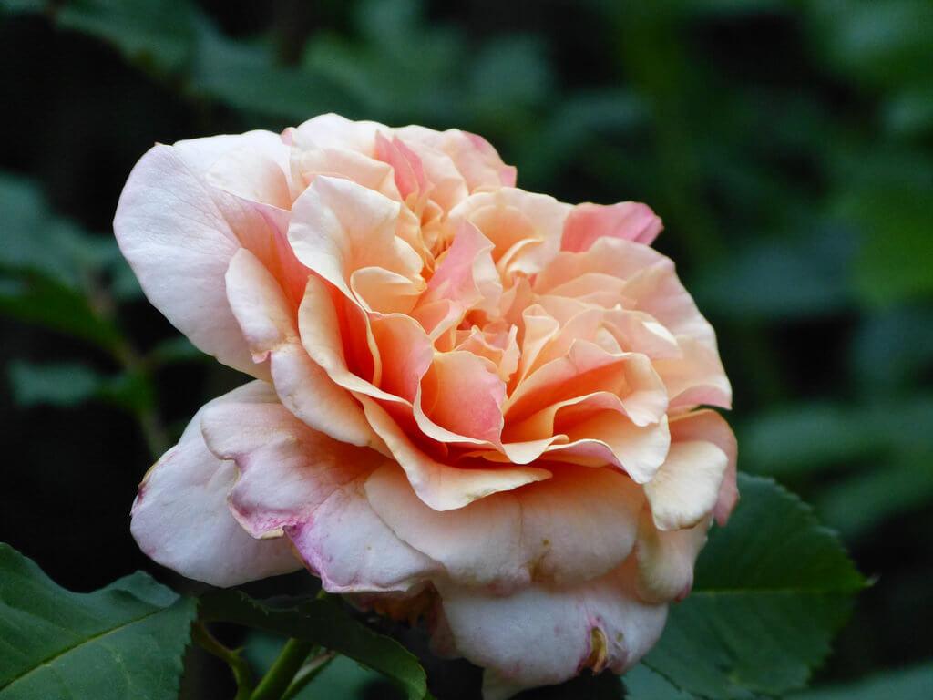 Роза Априкола 3