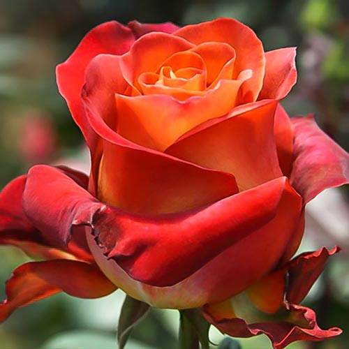 Роза Кофе Брейк 1