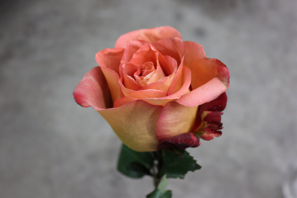 Роза Кофе Брейк 2