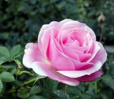 Роза Пинк Симфони 4