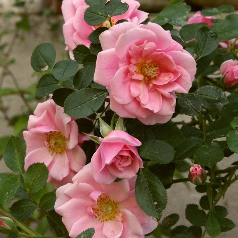 Роза Пинк Симфони 3