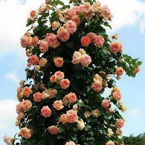 Роза Алхимист 1