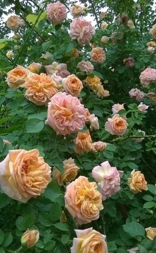 Роза Алхимист изображение 2