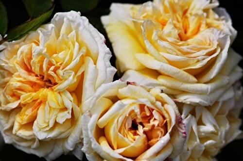 Роза Алхимист 3