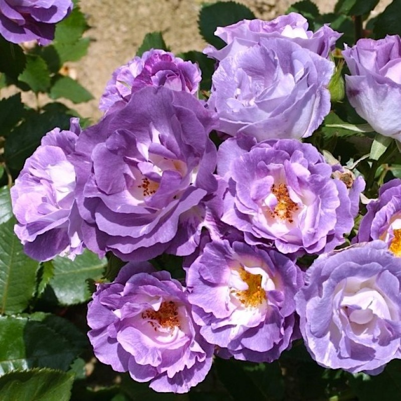 Роза Блю фо ю изображение 2