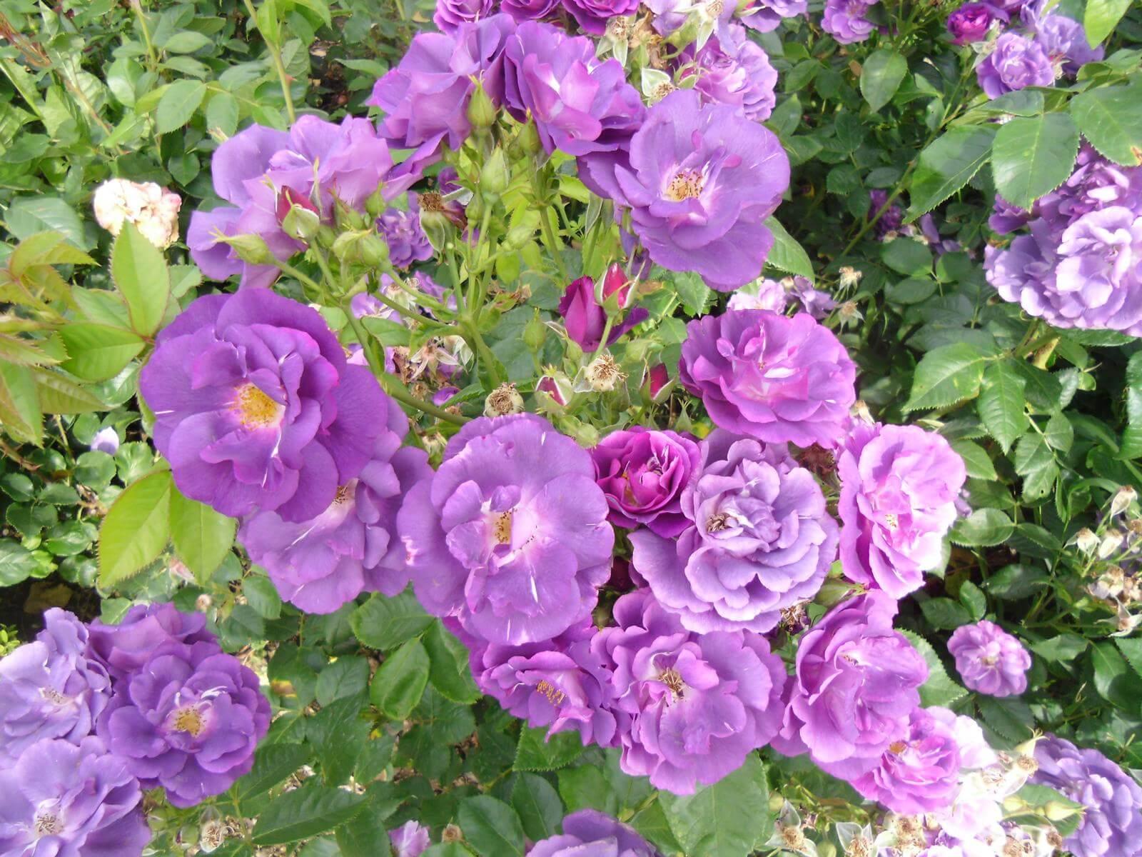 Роза Блю фо ю изображение 4