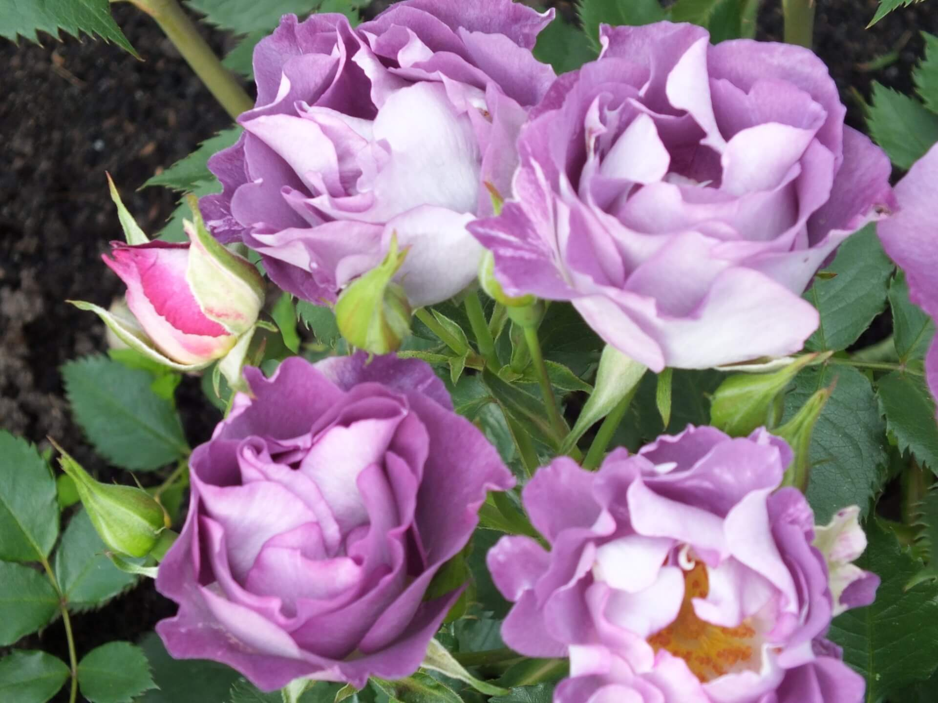 Роза Блю фо ю изображение 3