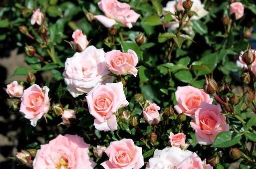 Роза Виктория изображение 2