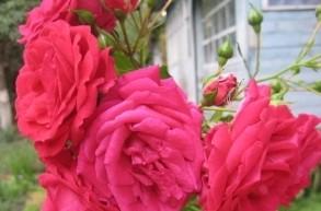 Роза Виктория изображение 3