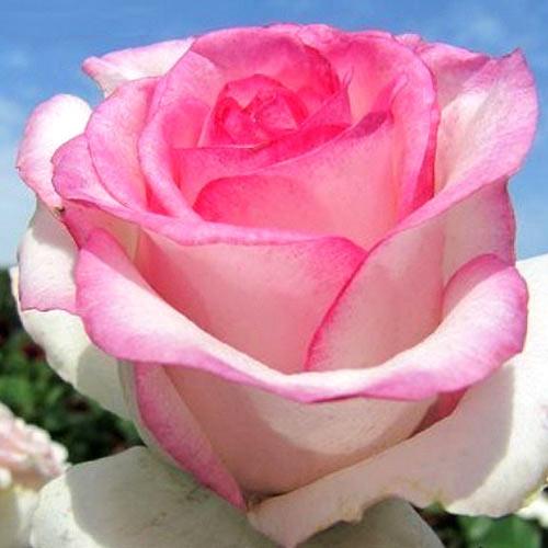 Роза Дольче Вита 1