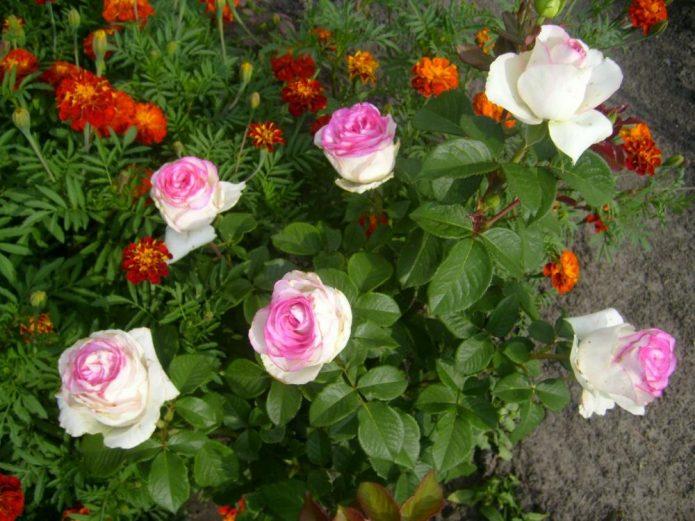 Роза Дольче Вита 2