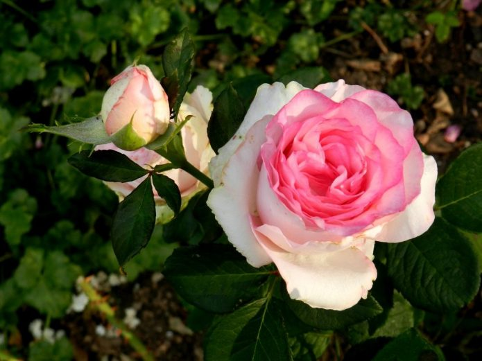Роза Дольче Вита 4