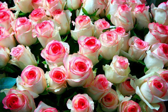 Роза Дольче Вита 3