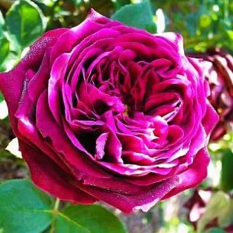 Роза Принц 1
