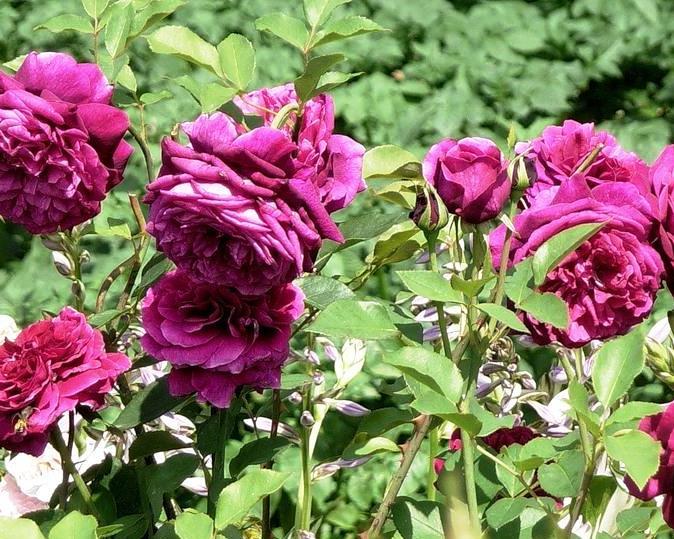 Роза Принц 2