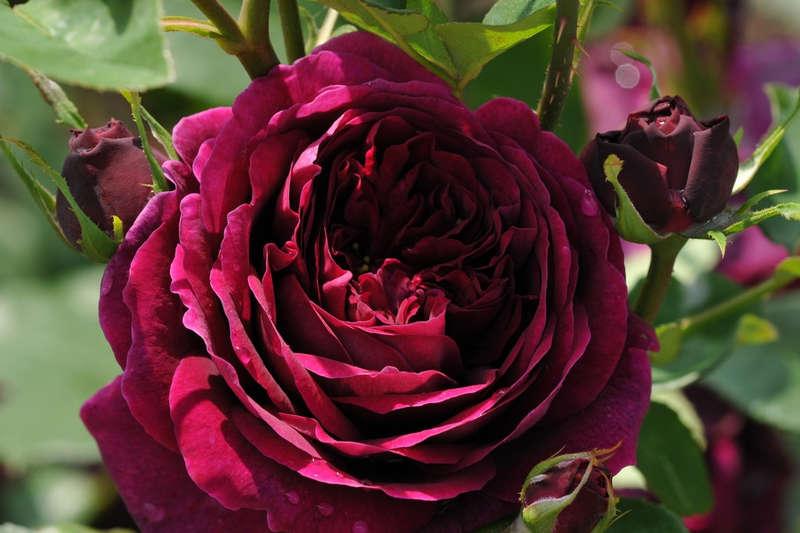 Роза Принц 4