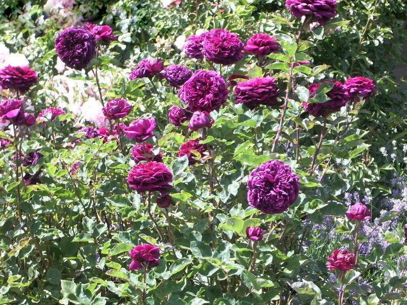 Роза Принц 3