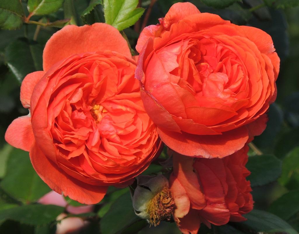 Роза Саммер Сонг изображение 1