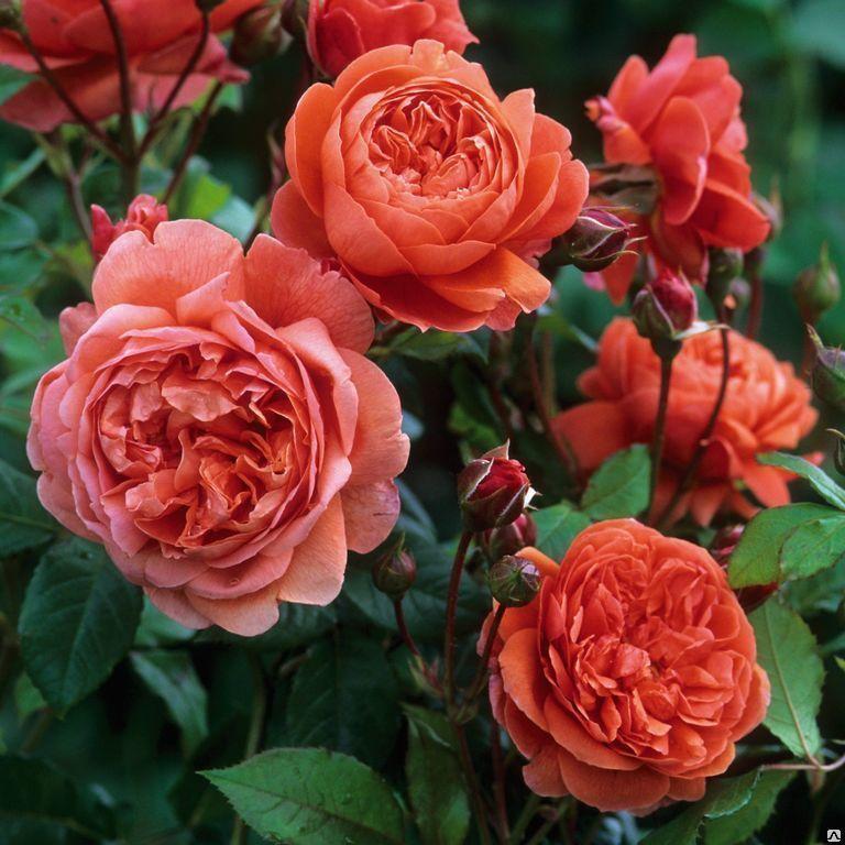 Роза Саммер Сонг изображение 4