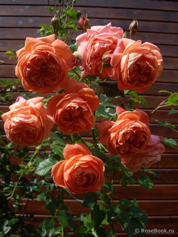 Роза Саммер Сонг изображение 3