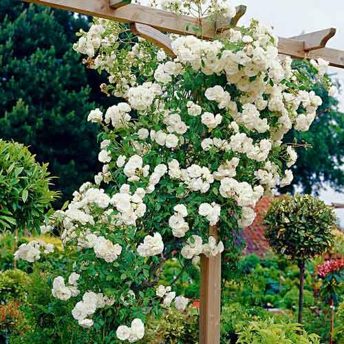 Роза Айсберг изображение 2