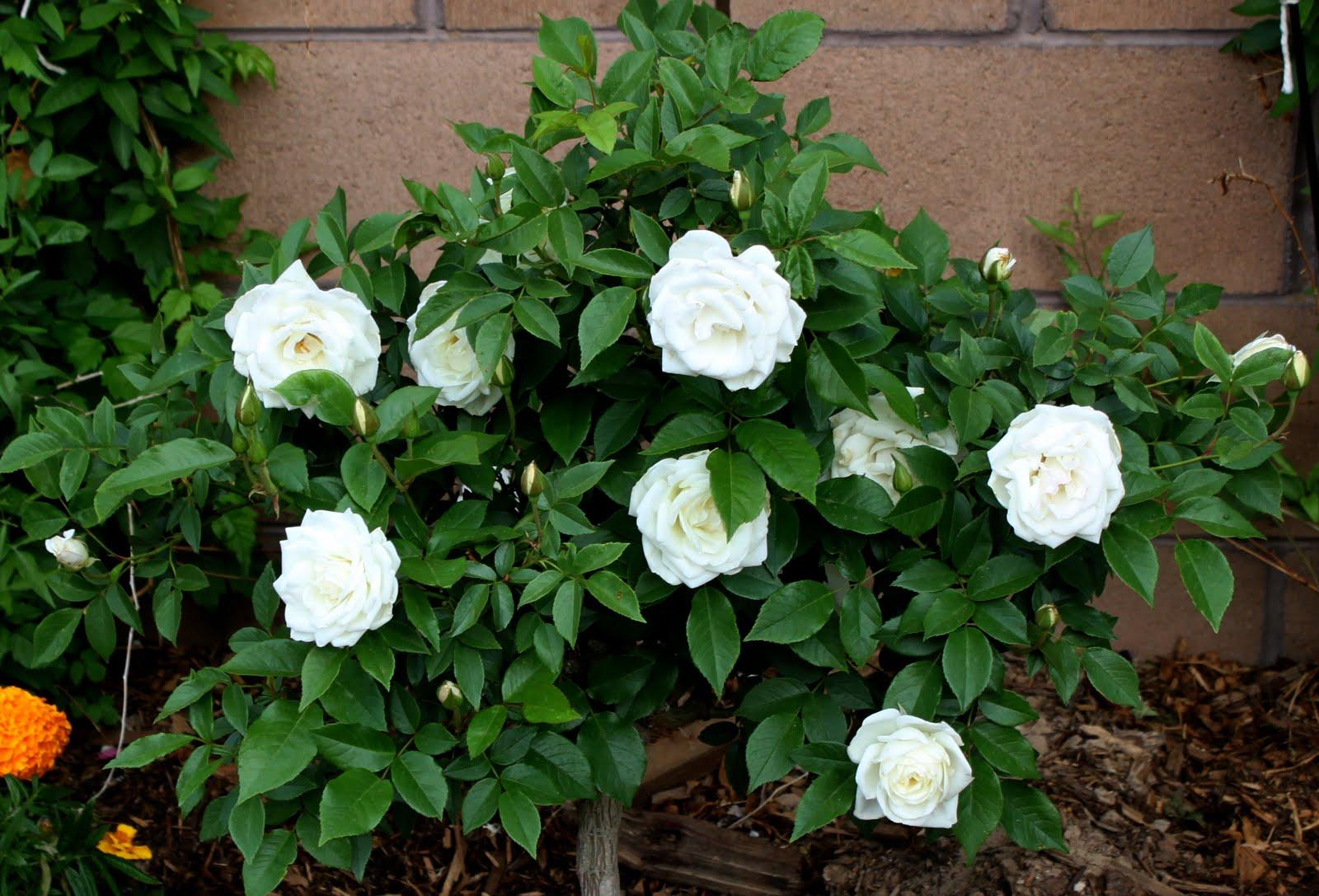 Роза Айсберг изображение 4