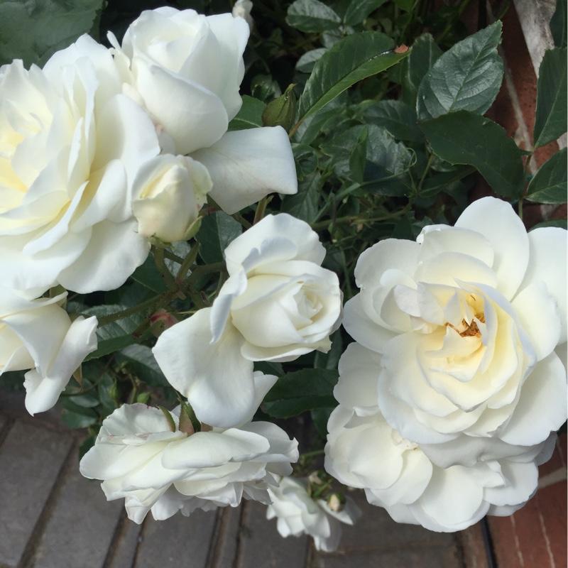 Роза Айсберг изображение 1