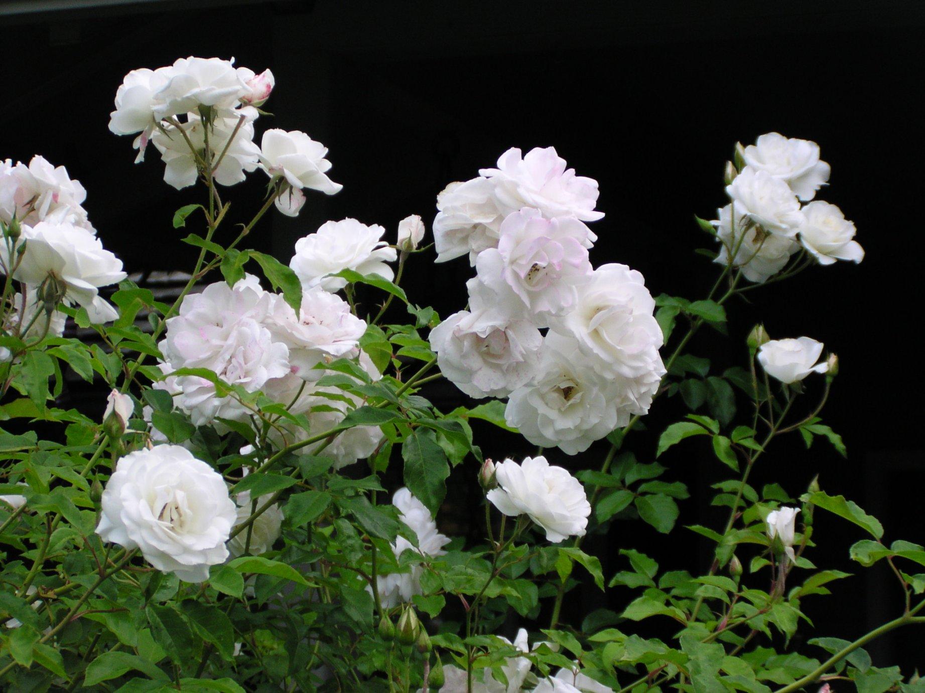 Роза Айсберг изображение 3