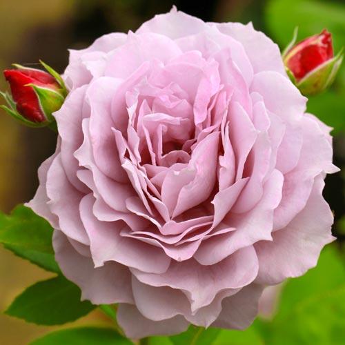 Роза Новалис 2