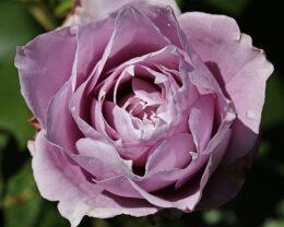 Роза Новалис