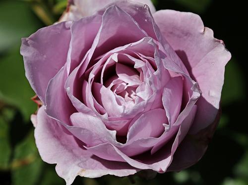 Роза Новалис 1