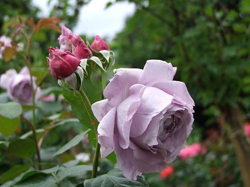 Роза Новалис 3