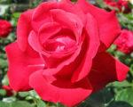 Роза Супер Хиро