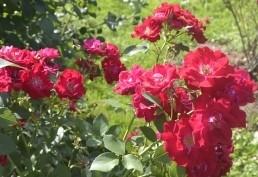 Роза Супер Хиро 2
