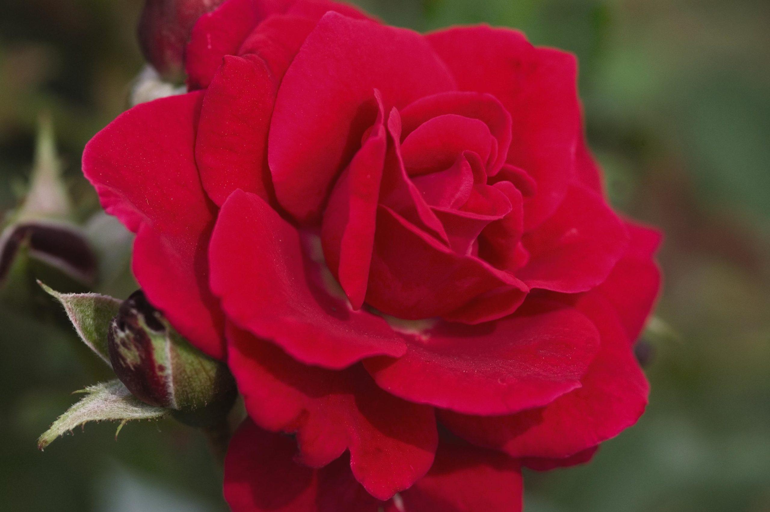 Роза Супер Хиро 4