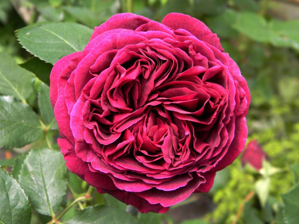 Роза Фальстаф 1
