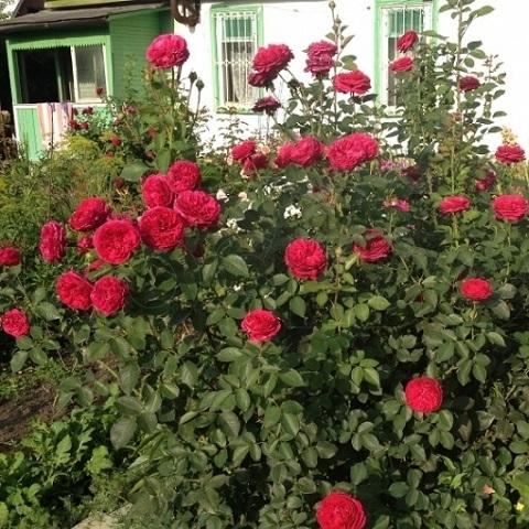Роза Фальстаф 2