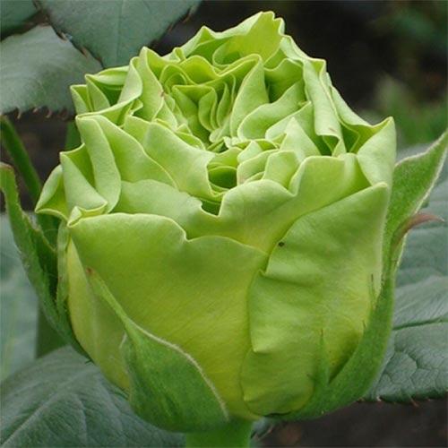 Роза Супер Грин 1